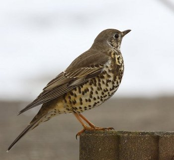 Mistle Thrush (wikimedia commons)