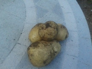 Last year's very first crop of potatoes. Fossil fuel use close to zero.